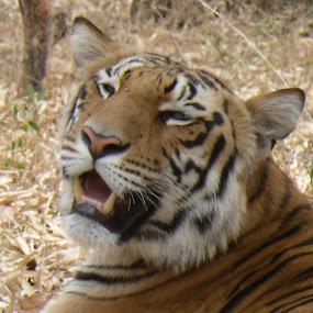 by Ian Siddall - Animals Lions, Tigers & Big Cats