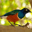 Estornino soberbio (Superb starling)