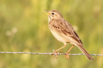 Photo: African Pipit
