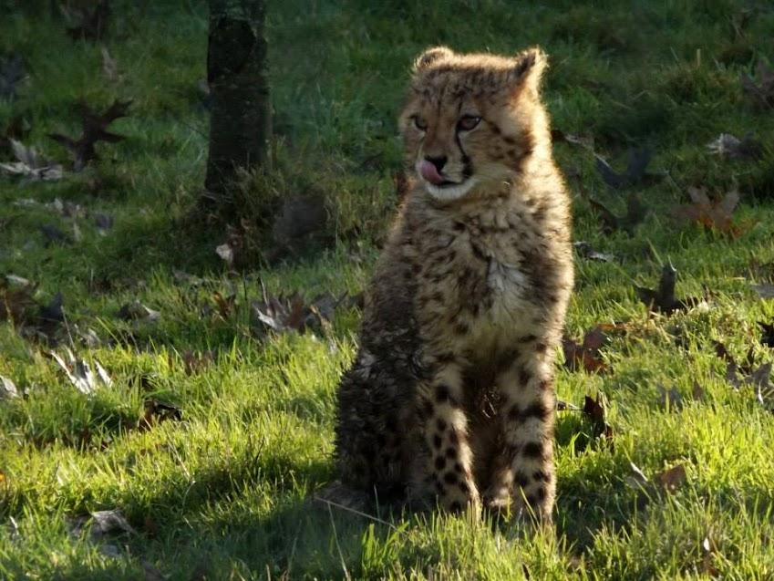 Bébé guépard d'Afrique du Sud ( 6 mois ), la Boissière du Doré - Tous droits réservés