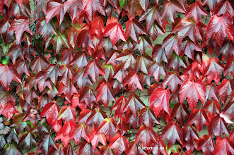 Photo: rotes Weinlaub - red wine leaves