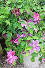 Photo: 拍攝地點: 梅峰-溫帶花卉區 拍攝植物: 鐵線蓮 拍攝日期: 2014_04_16_FY