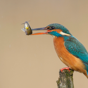 Hello Lunch by Robert van Brug - Animals Birds ( oiseau, orange, fish, ijsvogel, catch, common kingfisher, bird, aves, blue, food, kingfisher, vogel, martin pescador )