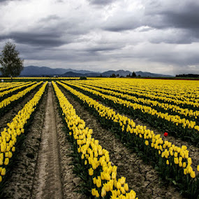 One Red Tulip by Marie Browning - Landscapes Prairies, Meadows & Fields ( red, yellow, tulips, landscape, storm, rows,  )