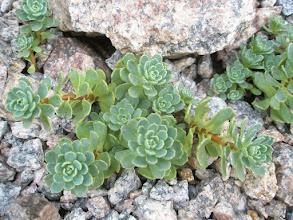 Photo: Sedum pachyclados (Rhodiola pachyclados)
