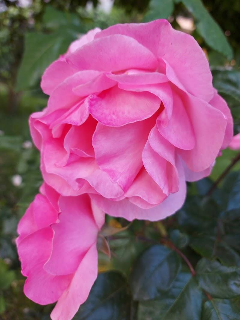 Pink rose di Manu76