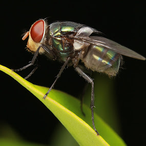 by Ady Putra - Animals Insects & Spiders ( house fly, insects, fly )