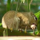 Gambian sun squirrel