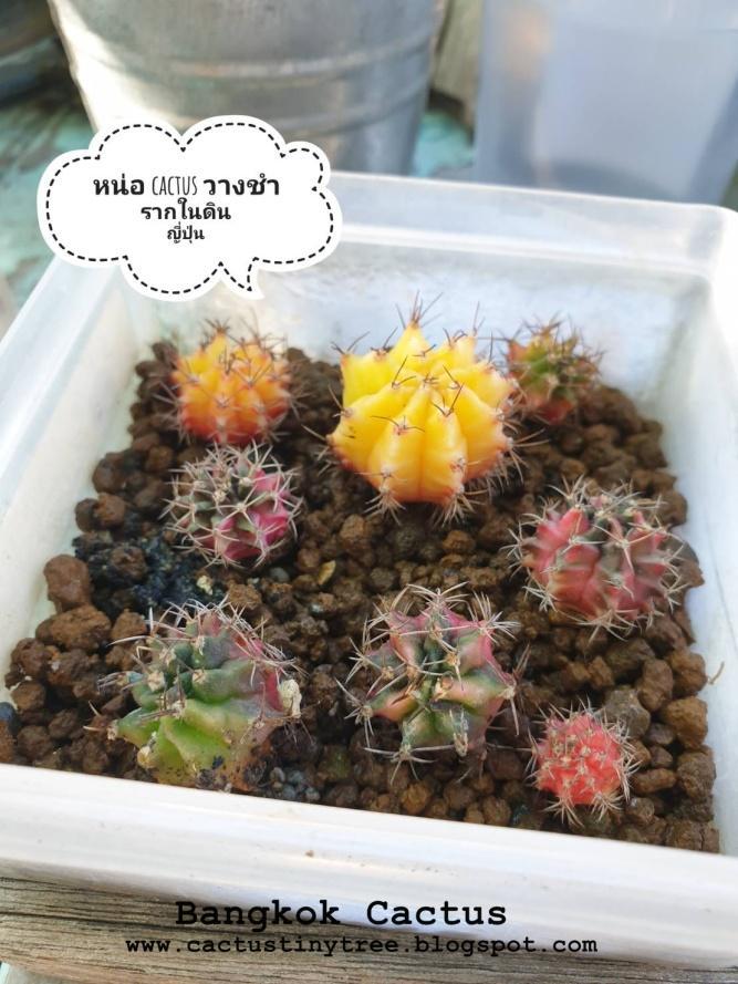 วิธีการชำหน่อ Cactus