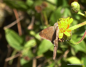 Photo: Brown Longtail (Urbanus procne), Vallarta Botanical Gardens