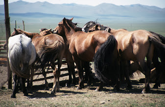 Photo: 03140 ウランバートル/牧民の家/馬