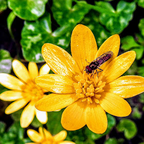 Mimicking The Sun  by Ian Popple - Flowers Flowers in the Wild ( celendines, green, yellow, leaves, insect, flower, sun,  )