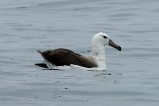Photo: Day 3 - One of many black-browed albatrosses we saw on our pelagic trip in the Pacific Ocean west of Vina del Mar
