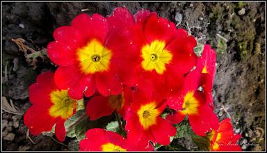 Photo: 2016.03.29 - dintre blocuri - Primula
