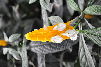 Photo: Pachystachys lutea RHS gardens Wisley