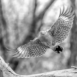 Woodpecker BW 201901165897 by Carl Albro - Black & White Animals ( flight, bird in flight, bird, flying, black and white, wildlife )