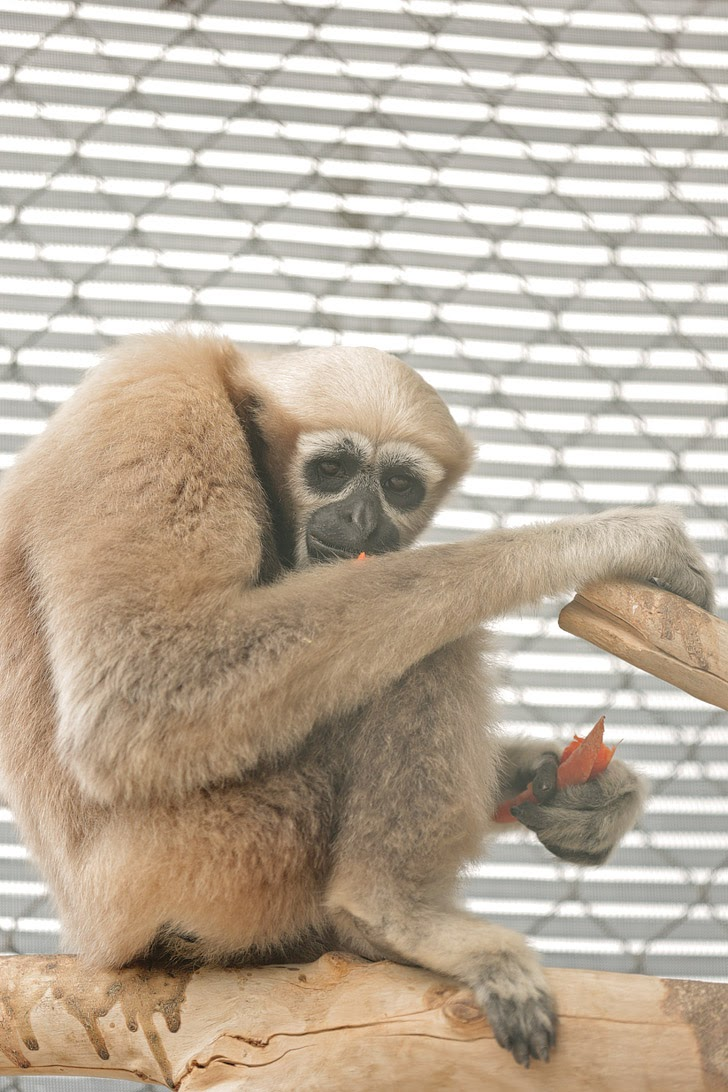 Eastern Hoolock Gibbon.