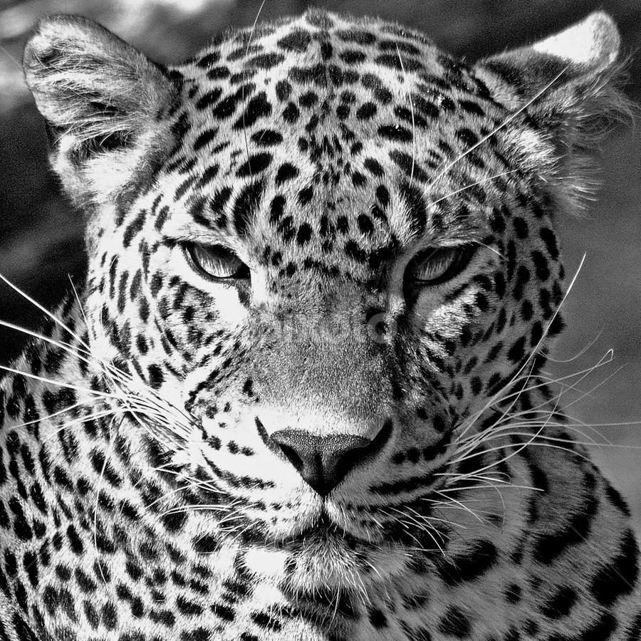 Leopard by John Phielix - Black & White Animals (  )