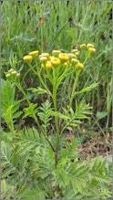 Photo: Vetrice (Tanacetum vulgare) - din Turda, Calea Victoriei, alee Micro. 1 - 2019.07.12