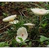 Leucocoprinus meleagris 珠雞斑白鬼傘