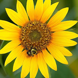 Sunflower 1-1.jpg