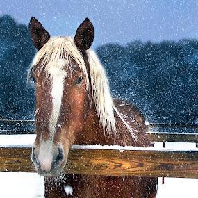 Winter Horse by Irene Orloff - Animals Horses ( snow winter horse farm belgian )