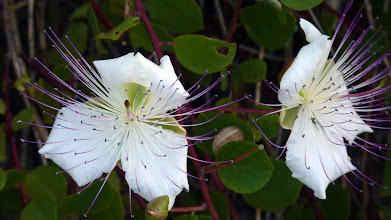Photo: A Caper probably the Capparis spinosa