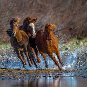 Freedom by Ronnie Sue Ambrosino - Animals Horses ( wild, free, freedom, arizona, horse, running, river,  )