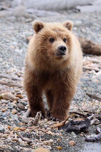 Bear-Cub.jpg - Catch a glimpse of a bear cub and other wildlife during an American Cruise Lines expedition.