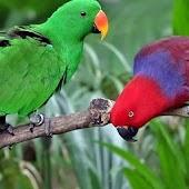 Lovebird Parrots Wallpapers