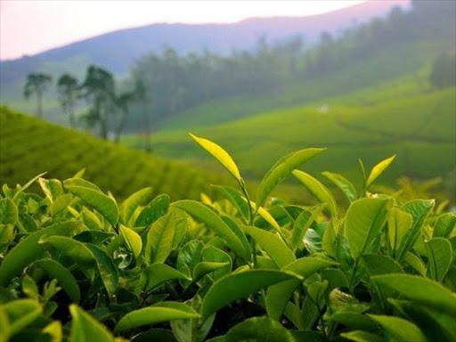 A tea plantation./FILE