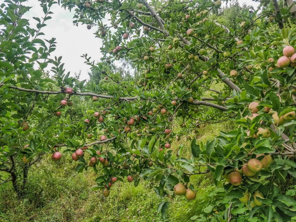 apples+kullu+naggar+manali+himachal+pradesh