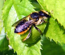 """Photo: """"Megachile analis"""" découpant une morceau de feuille de rose-trémière pour son nid. Elle découpe un morceau de feuille et l'emporte sous elle contre son abdomen."""