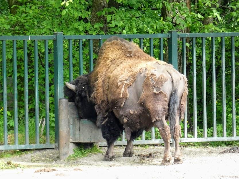 Byk bizona
