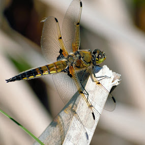 Dragonfly by Matthew Goldsworthy - Animals Insects & Spiders ( macro, nature, bug, insect, dragonfly,  )