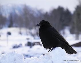 Photo: The tiny Northwestern Crow at the Seward harbor