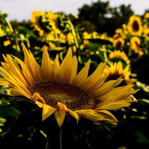 sunny side up sunflower (1 of 1).JPG