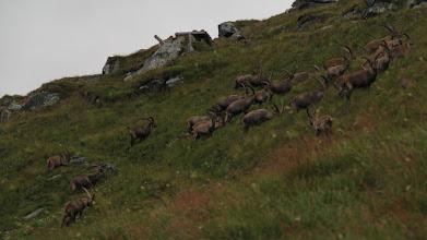 Photo: 25 ze stada liczącego 28 sztuk koziorożców alpejskich:) Zachód słońca nad lodowcem Pasterze, Wysokie Taury, Austria