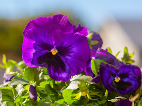 Photo: Purple Pansy and Pollen - A brilliant purple pansy at blooming peak with pollen galore.  At my home in Phoenix, Arizona.