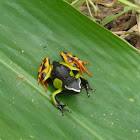 Malagasy Poison Frog