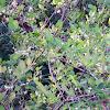 Deerberry
