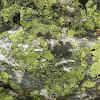 Green Map Lichen
