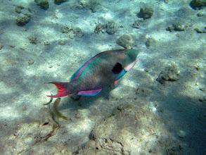 Photo: двухцветная рыба попугай