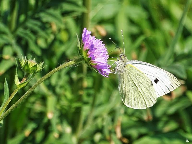 2019-05-24 LüchowSss Garten Acker-Witwenblume (Knautia arvensis) + Kleiner Kohlweisling (Pieris rapae)