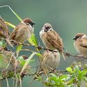 sparrow 麻雀