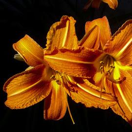day lily by Pamela Clark - Flowers Flower Gardens ( flowers, orange flowers, black background, petals, day lily )