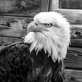 sea eagle by Franky Vanlerberghe - Black & White Animals ( bird, eagel, sea eagel, black 1 white,  )