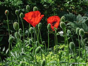 Photo: Poppies, Barnhill Rock Garden, Broughty Ferry