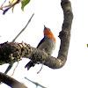 Scarlet-headed Flowerpecker