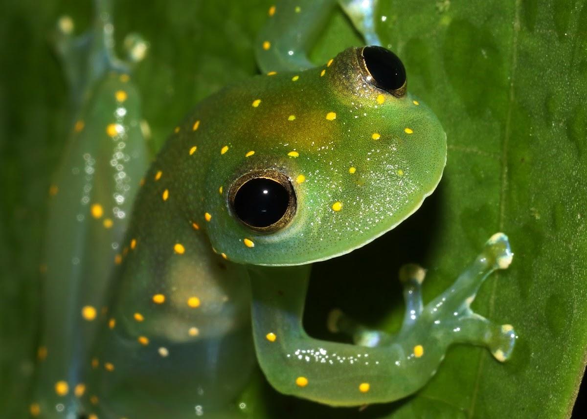 Fringe-limbed Tree Frog